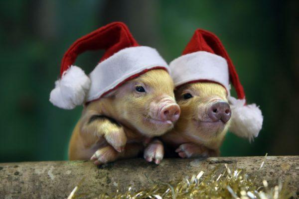 свиньи в новгодних шапках